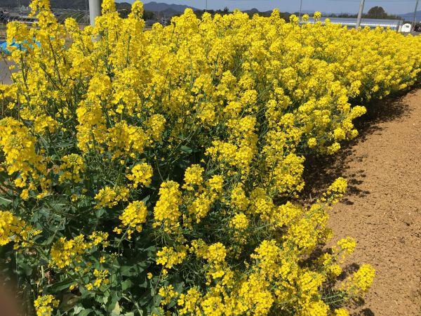 アグリパーク菜の花