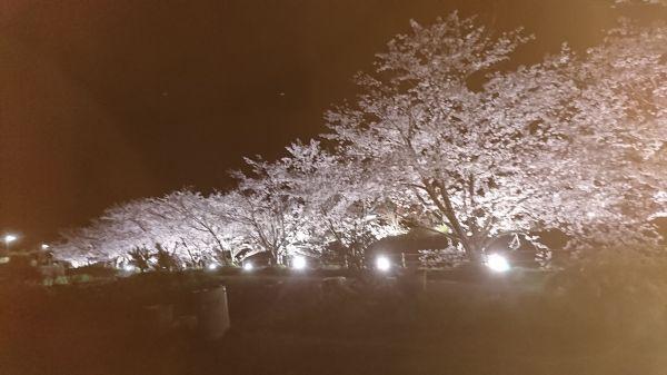 思川桜ライトアップ